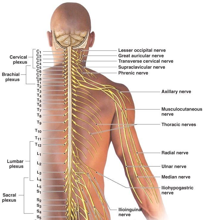 Nerves-in-Spine